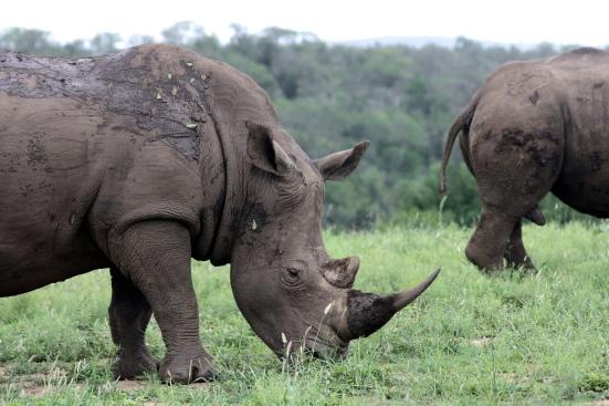 Rhinos in Hluhluwe