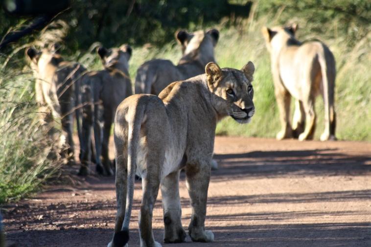 Lions in Pilanesberg