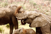 Two elephants in Pilanesberg NP
