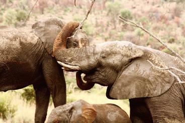 Two elephants in Pilanesberg NP