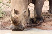 White rhino having a drink