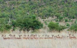 Impala on alert