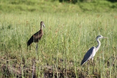 Open-billed stork and grey heron