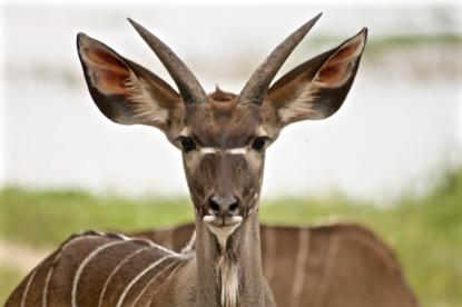 Juvenile kudu