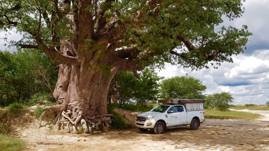 massive baobab